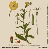 Gewöhnliche Nachtkerze, Oenothera biennis, Historisches Bild