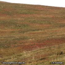 Preiselbeere (Vaccinium vitis-idaea), Standort, hier auf rund 1.700 m Höhe auf einer herbstlich gefärbten Alpe in Kärnten (Österreich)