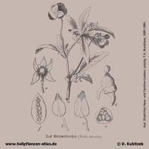 Wildes Stiefmütterchen; Viola tricolor
