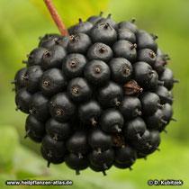 Taigawurzel Fruchtstand