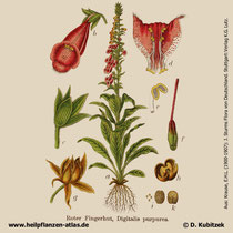 Roter Fingerhut, Digitalis purpurea; Historisches Bild