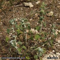 Eine kleine Andorn-Pflanze (Gewöhnlicher Andorn, Marrubium vulgare)