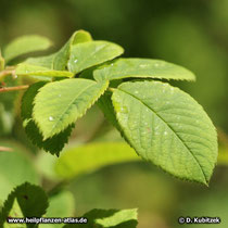 Rosa x damascena f. trigintipetala (Bulgarische Ölrose), Blatt