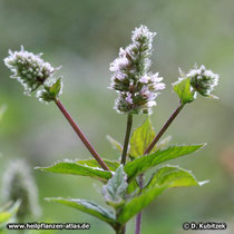 Pfefferminze (Mentha x piperita), Blütenstände