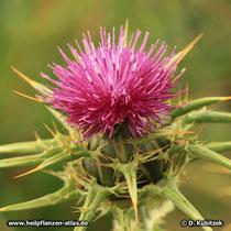 Mariendistel (Silybum marianum), Blütenkopf (Blütenkorb)