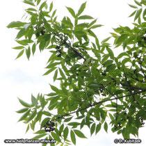 Amur-Korkbaum (Phellodendron amurense) Zweig mit Früchten