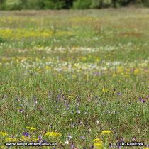Wildes Stiefmütterchen (Viola tricolor), Standort auf Sandmagerrasen (Mittelfranken, Bayern)