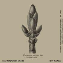 Gewöhnliche Rosskastanie; Aesculus hippocastanum; Knsopenschuppe; Historisches Bild