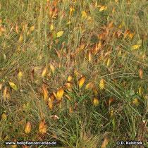 Maiglöckchen (Convallaria majalis), welke Blätter im Herbst