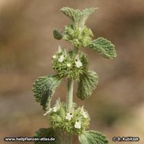 Andorn (Gewöhnlicher Andorn, Marrubium vulgare)