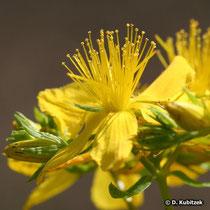 Echtes Johanniskraut (Hypericum perforatum), Blüte