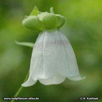 Glockenwinde (Codonopsis pilosula), Blüte