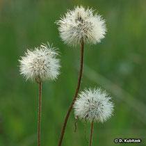 Samenstände der Arnika (Arnica montana)