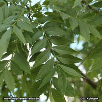 Schmalblättrge Esche (Fraxinus angustifolia), Blätter