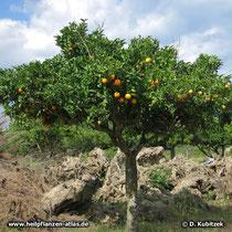 Orange (Citrus aurantium), Baum