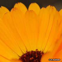 Ringelblume mit dreizähnigen Zungenblüten