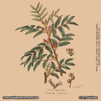 Mastix-Strauch; Pistacia lentiscus; Historisches Bild