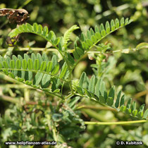 Tragant (Astragalus gummifer), Spross