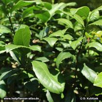 Mate-Strauch (Ilex paraguariensis), Wuchsform
