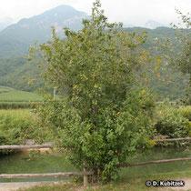 Echter Faulbaum (Frangula alnus) Standort an einem Gewässer in Südtirol (Italien)