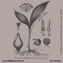 Maiglöckchen; Convallaria majalis; Historisches Bild