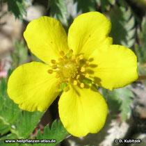 Gänse-Fingerkraut (Potentilla anserina), Blüte