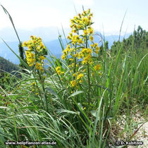 Echte Goldrute Standort in den bayerischen Alpen auf rund 1.600 m Höhe