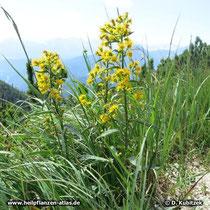 Echte Goldrute (Solidago virgaurea), Standort in den bayerischen Alpen auf rund 1.600 m Höhe