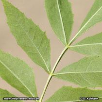 Schmallblättrige Esche (Fraxinus angustifolia), Blattunterseite