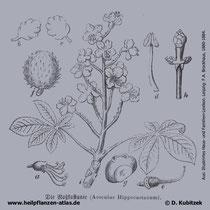 Gewöhnliche Rosskastanie; Aesculus hippocastanum; Historisches Bild
