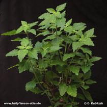 Orthosiphon (Orthosiphon aristatus; Synonym: Orthosiphon stamineus)