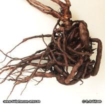 Pelargonium sidoides, Wurzel