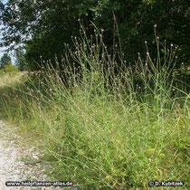 Echtes Eisenkraut (Veronica officinalis), Standort auf einer Heide