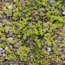 Kahles Bruchkraut (Herniaria glabra) Wuchsform