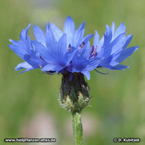 Kornblume (Centaurea cyanus): Blütenkopf (Blütenkorb) von der Seite