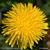 Blütenkopf des Löwenzahn (Blütenkorb)