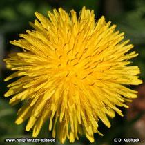 Löwenzahn (Taraxacum officinale), Blütenkopf (Blütenkorb)