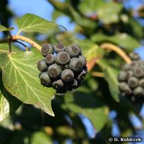 Gewöhnlicher Efeu (Hedera helix) Fruchtstand