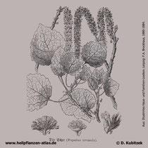 Zitter-Pappel (Populus tremula), historische Grafik 1