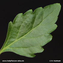 Blattoberseite von Orthosiphon aristatus