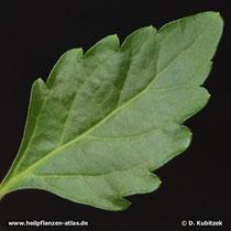 Orthosiphon (Orthosiphon aristatus; Synonym: Orthosiphon stamineus), Oberseite Blatt