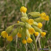 Wiesen-Schlüsselblume (Primula veris), Blüten