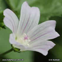 Weg-Malve (Malva neglecta), Blüte