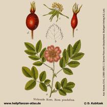 Alpen-Heckenrose, Rosa pendulina, Historisches Bild