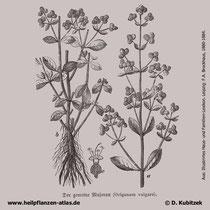 Gewöhnlicher Dost (Origanum vulgare), Historisches Bild