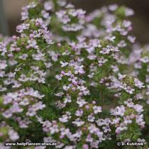 Echter Thymian (Thymus vulgaris), blühend