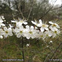 Schlehe (Prunus spinosa), blühender Zweig