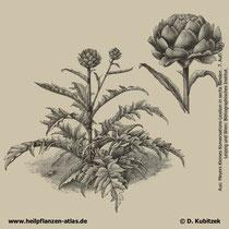 Artischocke (Cynara cardunculus), Historisches Bild