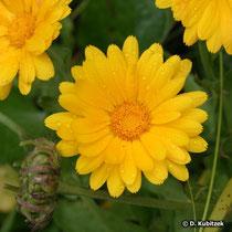 Ringelblume Blütenkopf (Blütenkorb)