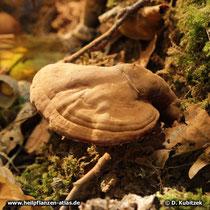 Glänzender Lackporling (Ganoderma lucidum). Auf der Oberseite ist er ganz mit Sporenstaub bedeckt.